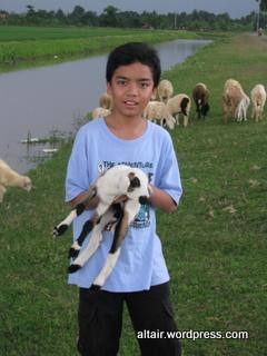 anak domba